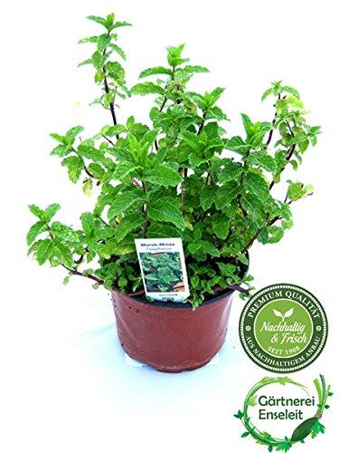 Marokkanische Minze,Mentha Spicata v. Crispa,frische Tee Minze, Kräuter Pflanze