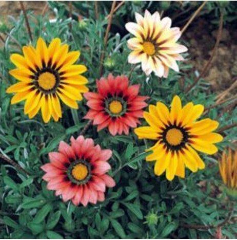 100 pcs / sac, graines Gazania, graines en pot, graines de fleurs, variété complète, le taux de bourgeonnement de 95%, (couleurs mélangées), plante en pot de jardin