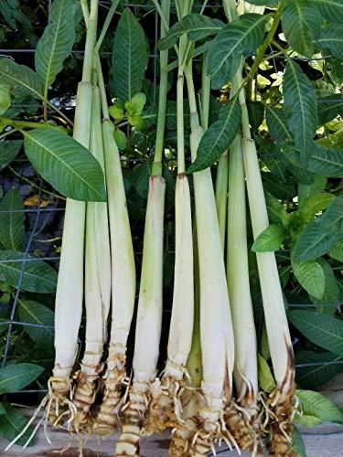 2 Live Texas Organic Lemongrass Stalks Plugs Cymbopogon Sereh Plant Lemon Grass