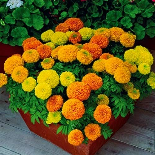 AIMADO sementi giardino - 50pcs Tagete 'Tangerine' arancione calendula africana annuale seme fiore tageti sementi per giardino Ideale per bordure, aiuole e vasi di qualsiasi