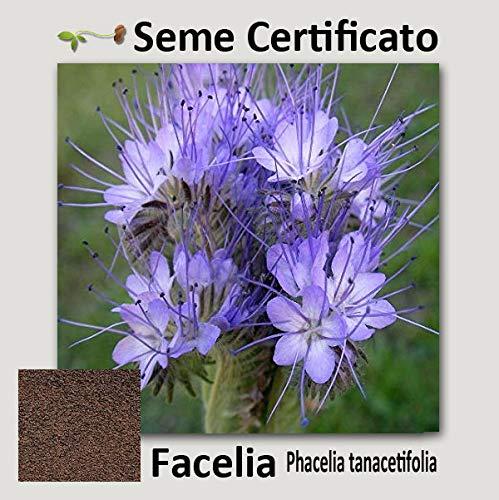 Agraria Ughetto Apicoltura FACELIA (Phacelia Tanacetifolia) Seme Certificato kg. 1 | Mellifere da Semina e sovescio