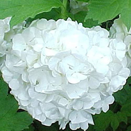 Viburnum Opulus 'Roseum'- Viorne obier; Boule de neige 'Roseum' 40-60 cm en conteneur