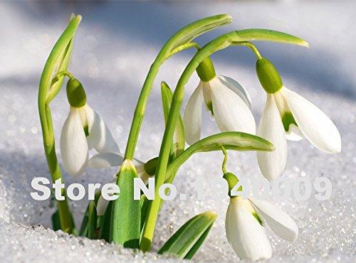2016 Nouveau! graines Livraison gratuite semences Galanthus nivalis de 200PCS commune Snowdrop fleurs beau jardin de congélation des plantes Bonsai de Balc