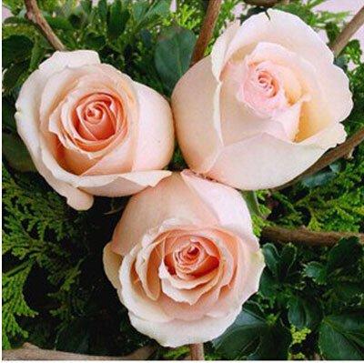 200pcs / pack Rare Pays-Bas Rainbow Rose Flower Seed Outdoor Blooming Bonsai Plante en pot décoratif Decor Garden Livraison gratuite 4