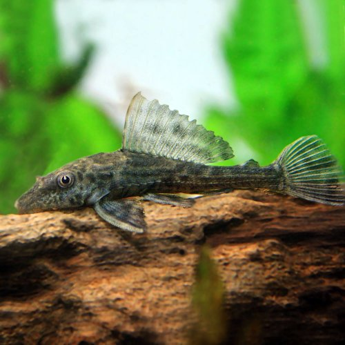 (熱帯魚)サッカープレコ(ヒポプレコ)(約5cm)<3匹>[生体]