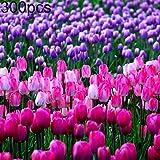 catkoo 300pcs semi di tulipano giardino balcone all'aperto bonsai profumo fiore pianta perenne,adatto a balcone,soggiorno,del giardino,decorazione natalizia tulip seeds