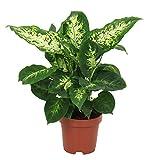 Dieffenbachia Seguine «Compacta» | Plante tropicale d'intérieur | Hauteur 35-40cm | Pot de ø 12cm