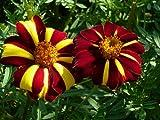SEEDVALLEY Marigold Sr. Majestic Maravilla Francesa súper RARA semilla importada
