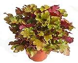 Heuchera 'Marmelade'' - Purpurglöckchen - Staude winterhart immergrün mehrjährig, robuste Pflanze im 12 cm Topf für Balkonkästen, Beet, Steingarten