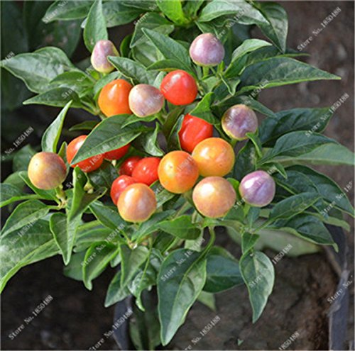 Cerise poivre Graines de légumes jardin Bonsai Chili usine Décoration non-Ogm Jardin Cuisine Assaisonnement Alimentation 200 Pcs 12