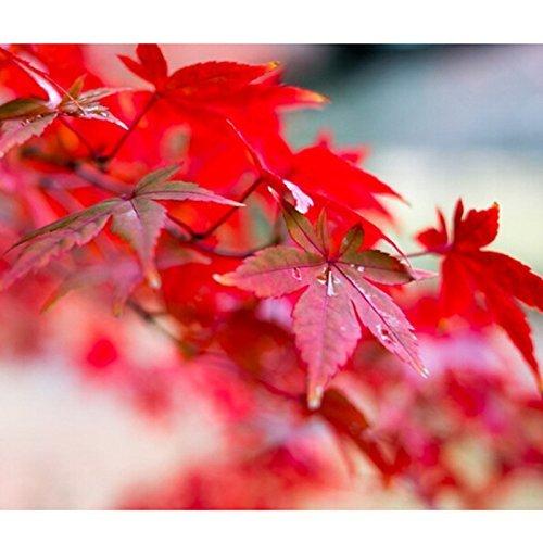 30 graines/Lot Rouge japonais Érable Arbre avec hermétique Package * très belles * Japon Érable NEUF Graines