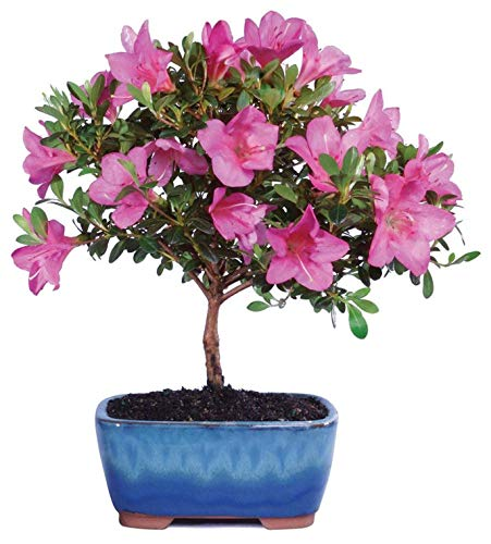Brussel's Live Satsuki Azalea Outdoor Bonsai Tree - 6 Years Old; 8' to 10' Tall with Decorative Container