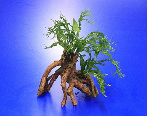 Windelov Javafarn-Mangrovenwurzel mit Höhle / Mangrovenbaum mit Microsorum Windelov