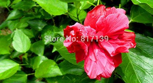 Bricolage 10 Graines jardin Mixed Rose Of Sharon Hibiscus Syriacus Fleur Arbre Bush Graines