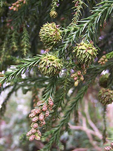 Sicheltanne Cryptomeria japonica Pflanze 25-30cm Sugi Japanische Zeder Zypresse