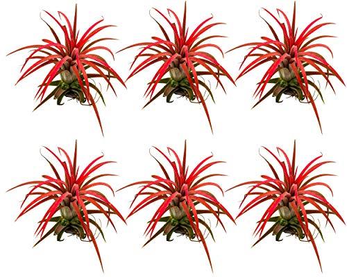 Tillandsia ionantha | rot | Luftpflanze...