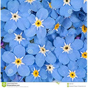 1,000 Seeds Forget-Me-Not Seeds Myosatis arvensis Wild Flower Fresh Meadow by Pretty Wild Seeds Wedding Favours Funerals