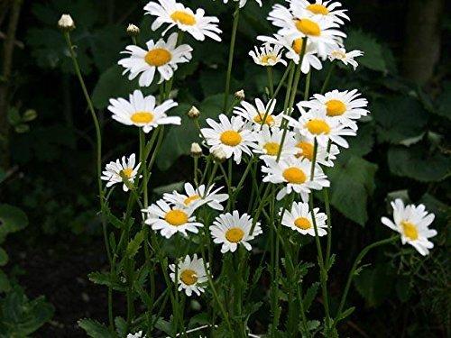 Semillas de flor de Pinkdose® Semillas de flor de la margarita de ojo de buey para las semillas caseras de Garden-100 cerca