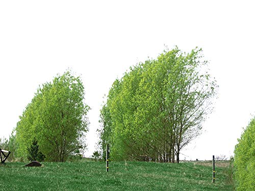 18 Rooted Hybrid Willow Trees - Ready to Plant - Fast Privacy and Shade - Indoor/Outdoor Live Plants