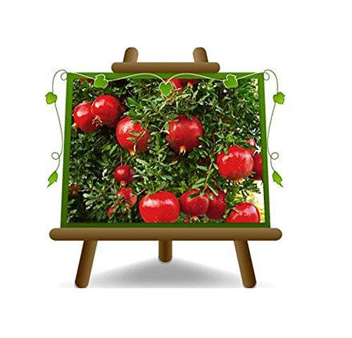 Melograno Wonderful - Pianta da frutto su vaso da 20 - max 170 cm - 2 anni