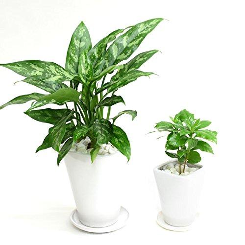 選べる観葉植物 陶器鉢2点セット(【4号】アグラオネマ×【3号】コーヒーの木)