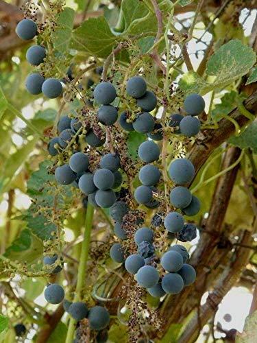 Vitis californica Kalifornien Wein Samen!
