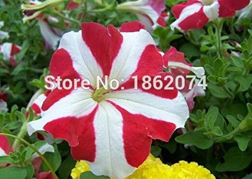 300pcs mélange blanc graines de pétunia rouge graines rares de fleurs sementes de flores maison & amp; jardin Semillas de planta un cadeau Graines