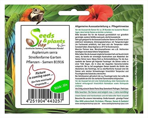 Stk - 10x Asplenium serra Streifenfarne Garten Pflanzen - Samen B1916 - Seeds Plants Shop Samenbank Pfullingen Patrik Ipsa