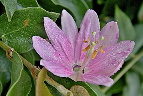Curuba Passionsblume (Passiflora mollissima) 5 Samen
