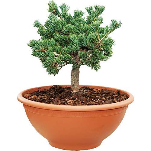 Mammutgarten Pinus Zwerg Kiefer Blau 15-20 cm
