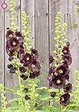 Las semillas 100pcs Malva (Alcea Rosea 'Nigra') mezclado semillas de flor color perenne planta para el jardín de embellecimiento de Decoración 2
