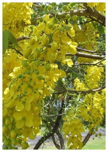 TROPICA - Indischer Goldregen / Gelbe Kassie (Cassia fistula) - 20 Samen