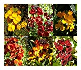 PREMIER SEEDS DIRECT WallFlower English - Bedding Mixed - 1800 Seeds