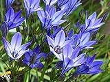 GETSO Samen-Paket Nicht Pflanzen: 40 Brodiaea Triteleia Königin FabiolaSummer Samen Blumensamen