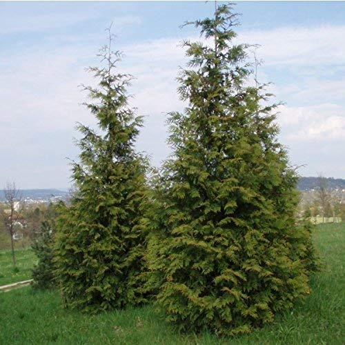 25 Samen Western Red Cedar Seeds (Thuja plicata) Baum
