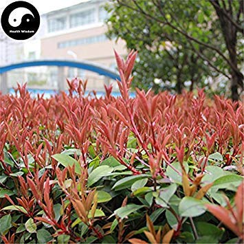 ASTONISH SEEDS: Semillas Comprar Photinia serrulata árbol 100 piezas planta rojo para Heather Shi Nan