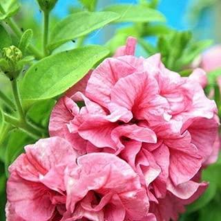 Cutdek Petunia Double Cascade Pink Flower Seeds (Petunia x hybrida) 20+Seeds