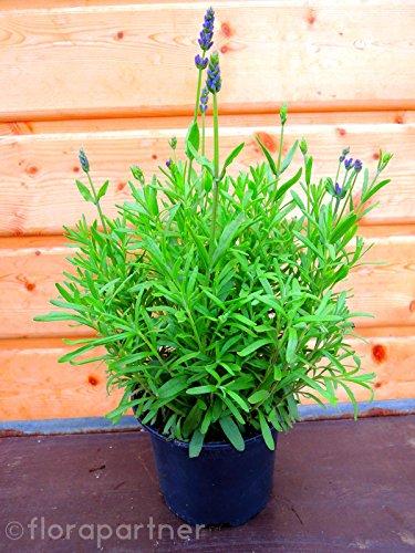 Lavendel Kräuter Pflanzen ESSBAR! Lavendula augustifolia 1stk.