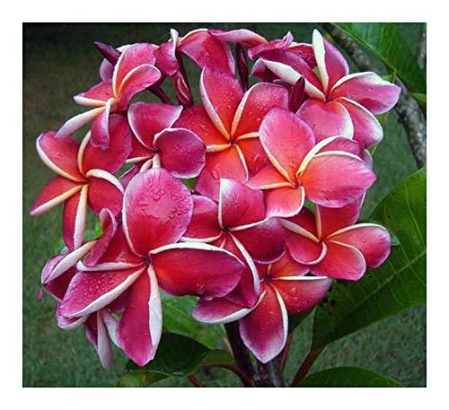 Plumeria rubra Elsie - Frangipani - Wachsblume - 3 Samen