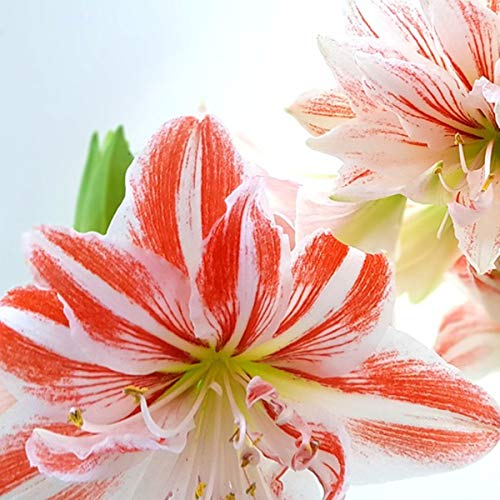 Exotic,Amaryllis Bulbs,Rare Plant,Bonsai Plant,Balcony Becoration,Ornamental Flowers,First Choice for Cut flowers-3Bulbs