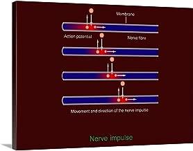 Nerve Impulse Propagation, Diagram Canvas Wall Art Print, 40
