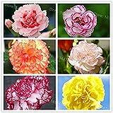 レアカーネーションの種混合色の花の種子の100pcs /ホームガーデンのママギフト用バッグcaryophyllus花の種