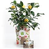 Housewarming Improved Meyer Lemon Gift Tree by The Magnolia Company - Get Fruit, Dwarf Fruit Tree with Juicy Sweet Lemons, Cannot Ship to CA, TX, AZ, LA (Medium, Housewarming Floral)