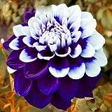 100Pcs Rare Blue and White Point Dahlia Seeds Beautiful Perennial Flowers Plants Dahlia for DIY Home Garden Sementes Bonsai Seeds