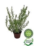 Französischer Estragon, Pflanze, Pfefferkorn, Artemisia dracunculus,frischer Estragon für Ihre Küche