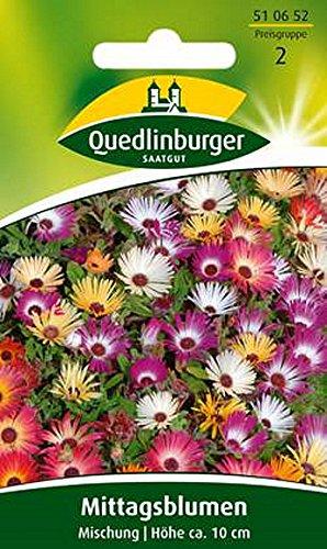 Mittagsblumen, Dorotheanthus bellidiformis, Samen, Saatgut