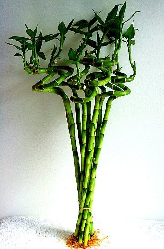 jmbamboo-10 Stalks of 18 Inches Spiral Lucky Bamboo, 10 Bottles of mo