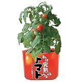 野菜栽培セット ウレウレトマト (ミニトマト)
