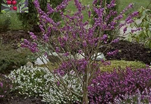 Roter Seidelbast Rubra Select - Märzenseidelbast - Daphne mezereum Rubra Select - stark duftend (40-50)