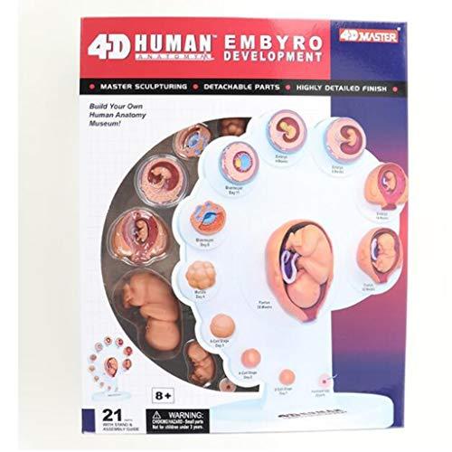 Modelo de órgano Humano, Modelo de Crecimiento fetal, Educación médica, Ampliamente Utilizado, Dividir 21 Partes, Rompecabezas ensamblado de Juguetes.